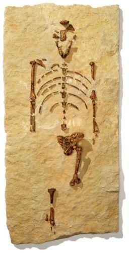 Découverte d'un hominidé de 3,6 millions d'années